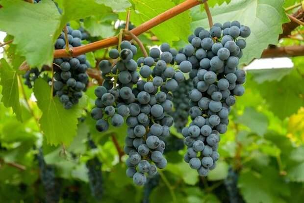 Трудности выращивания винограда в подмосковье
