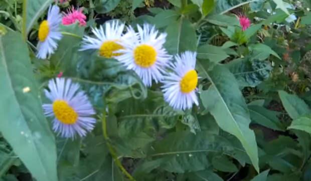 Астры — выращивание из семян в домашних условиях, когда сажать
