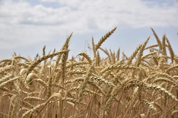 На Кубани собрали 7,7 миллиона тонн зерна