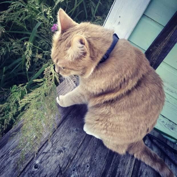 Амуниция для кошек. Выбираем правильный ошейник, поводок, шлейку.