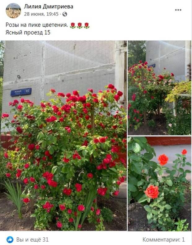 Фото дня: в Ясном проезде расцвели розы