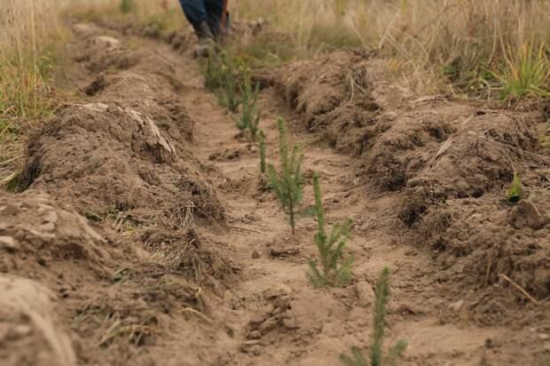 В Кизнерском лесничестве волонтеры высадили 8 тысяч молодых елей
