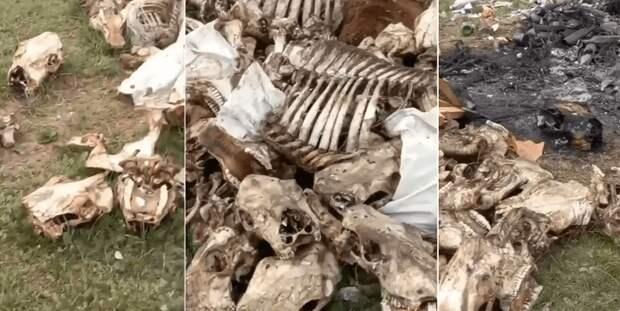 Стихийный скотомогильник под открытым небом обнаружили в Павлодарской области