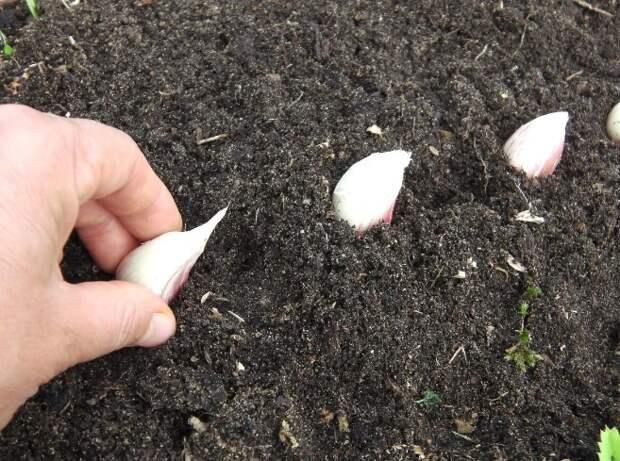 Веерный способ посадки чеснока. Как увеличить размер зубков в 1.5 раза