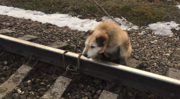 «Он своё отжил»: Хозяин привязал собаку к рельсам, чтобы избавиться от неё