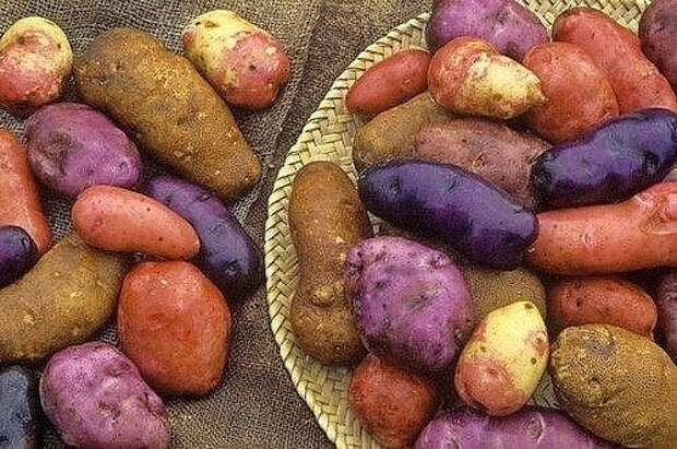 У каждого сорта картофеля свои особенности и уход