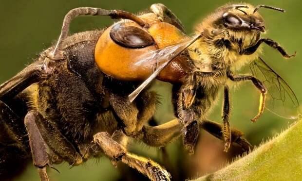 Учёные научили пчёл выявлять коронавирус у людей