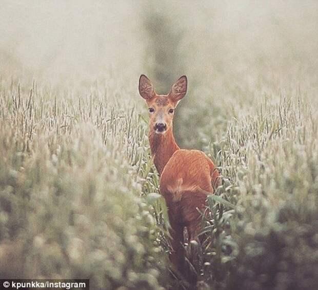 Всю свою жизнь Пункка бродит по лесам, пытаясь понять, как живут дикие животные, как, например, этот олень.