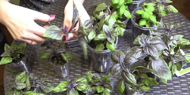 Необычный способ выращивания базилика. Можно получить целые заросли