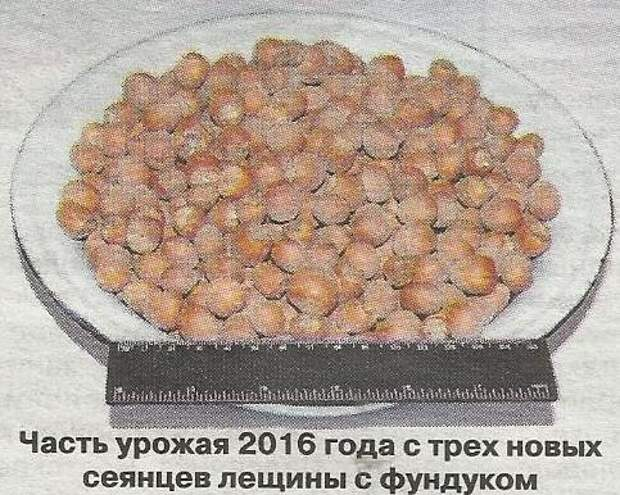 Опыт выращивания лещины и фундука на Урале
