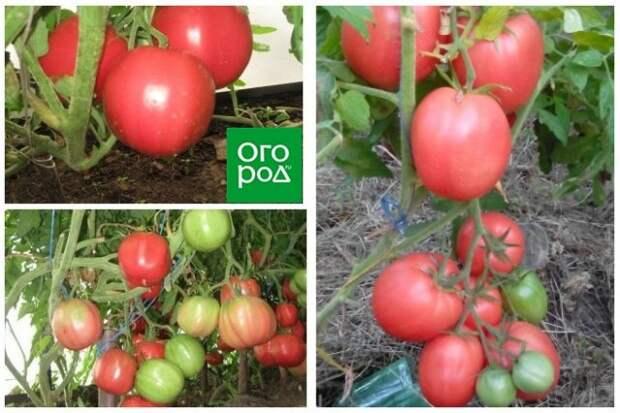 высокорослые томаты Киевлянка