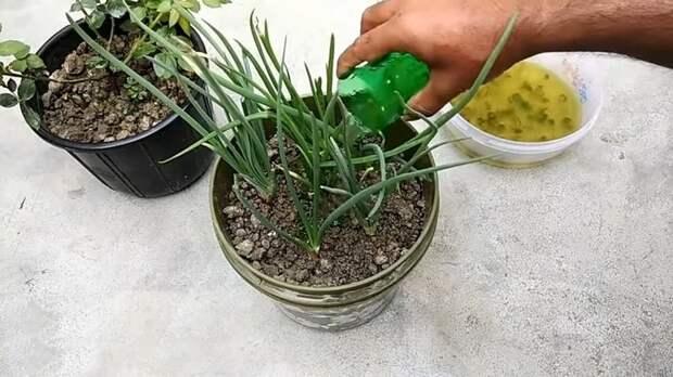 Натуральное удобрение из алоэ вера: ваши растения скажут спасибо