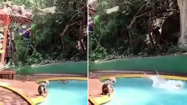 Прыгающие в бассейн с зонтика обезьянки рассмешили Сеть