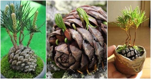 Вырастите симпатичный сосновый декор для удачи в доме