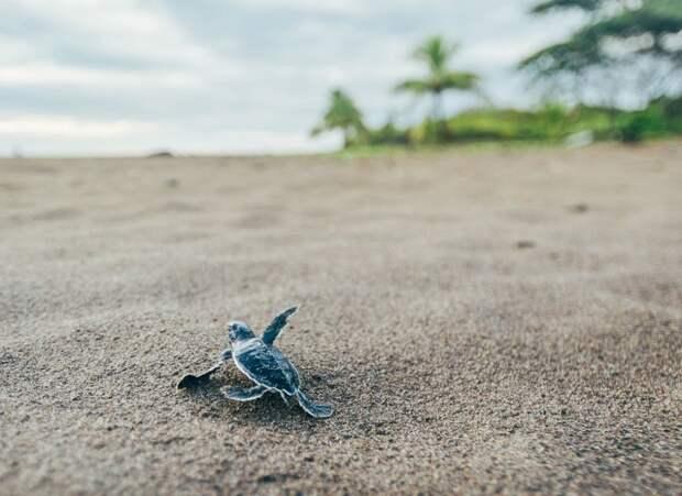 Детёныш морской черепахи