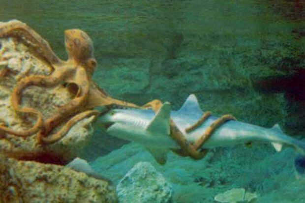 Встреча акулы с осьминогом: схватка чудовищ из бездны попала на видео