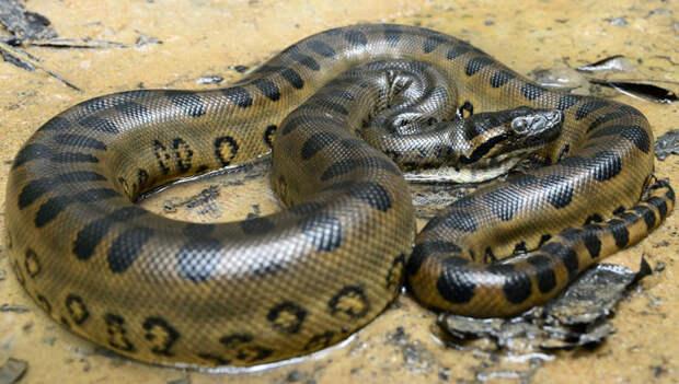 Животные Южной Америки: анаконда
