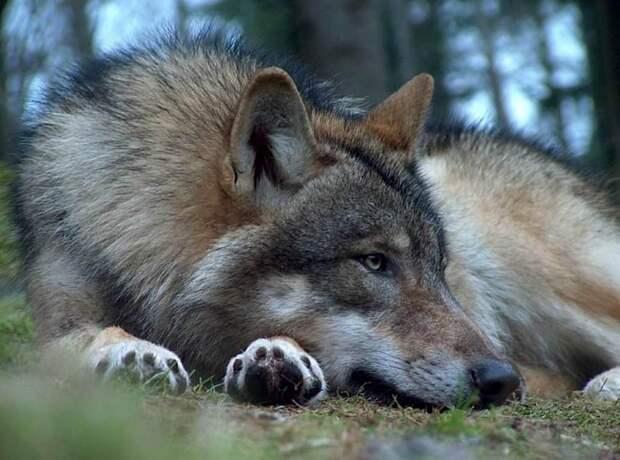 Как люди спасали от смерти беременную волчицу