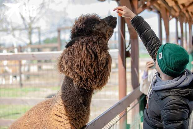 Аль Пачино и Игорь-младший: как семья построила первую в России ферму с альпаками