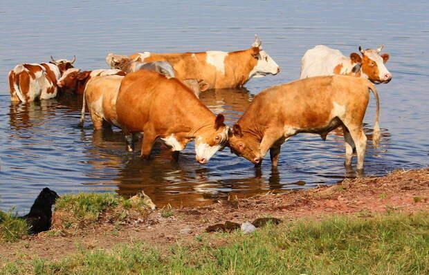 Боевые коровы