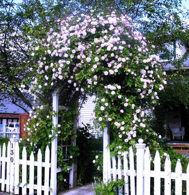 красивые плетистые розы в саду фото