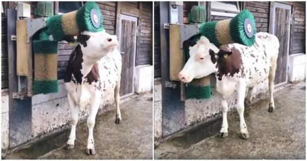 Корова в восторге от новой щетки-чесалки видео, животные, корова, милота, прикол, чесалка, швейцария, щетка, юмор