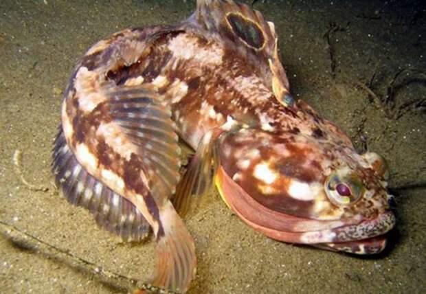 Щучья морская собачка – оправдано ли ее имя?