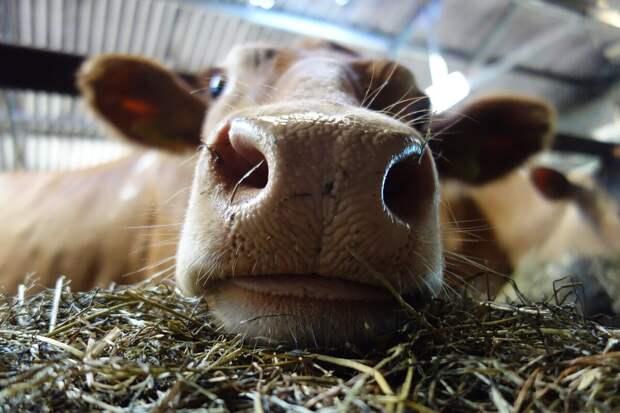 Отпечаток носа коровы уникален, как отпечаток пальца