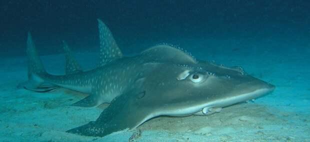 Акулохвостый скат