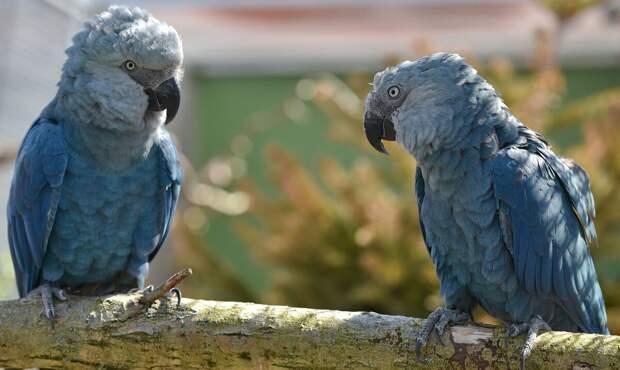 голубой ара пара