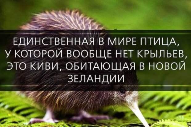 Единственная бескрылая птица в мире - киви