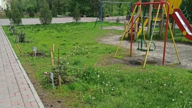 В Ростовском сквере украли ели, посаженные одаренными детьми