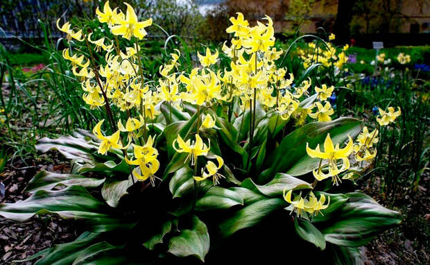 Многолетний садовый цветок Эритрониум (Erythronium)