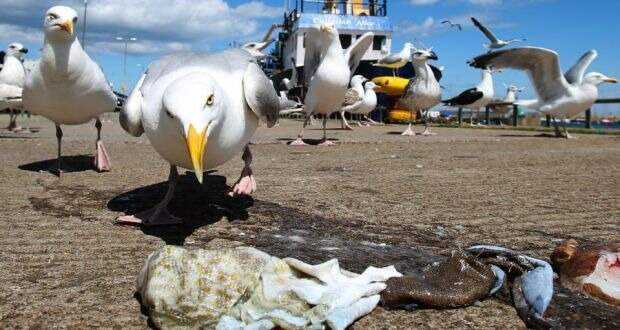 Пернатая банда: агрессивные чайки терроризируют район в Девоне, врываясь в квартиры и похищая собак