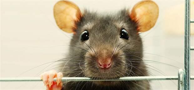 Почему люди боятся крыс?