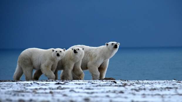 Китайский журналист сравнил Россию с огромным полярным медведем
