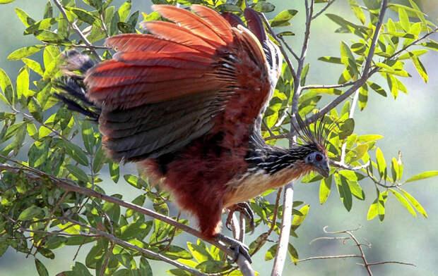 Животные Южной Америки: гоацин