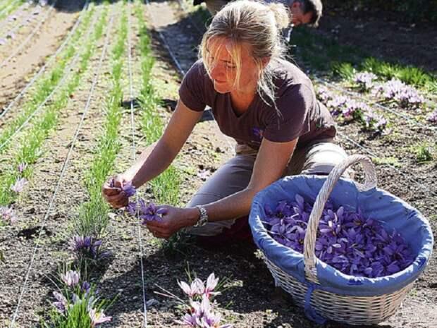 Как у себя на грядке вырастить шафран – одну из самых дорогих специй