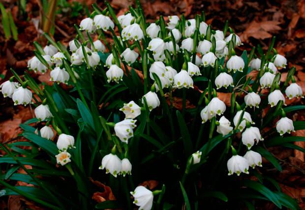 Многолетний садовый цветок Белоцветник (Leucojum)