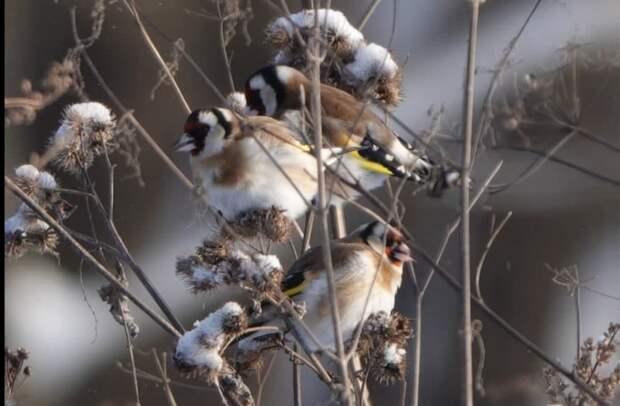 В природный парк «Тушинский» прилетели щеглы