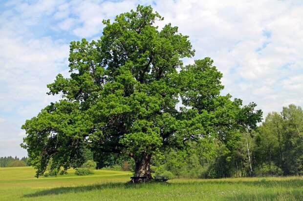 Ваше дерево по кельтскому гороскопу