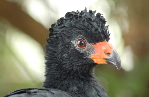 Животные Южной Америки: большой кракс
