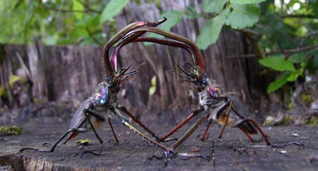 Животные Южной Америки: рогач гранта