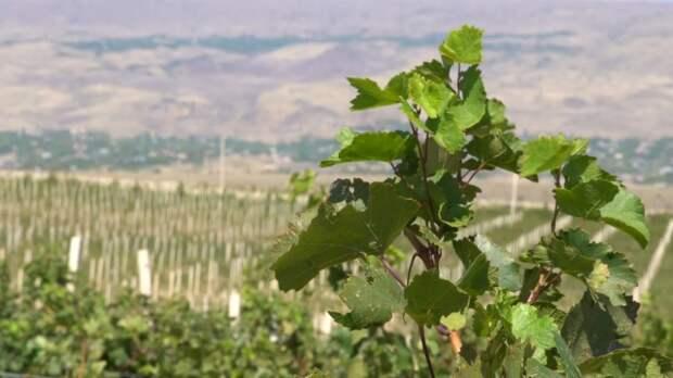 В чем секрет армянского коньяка?