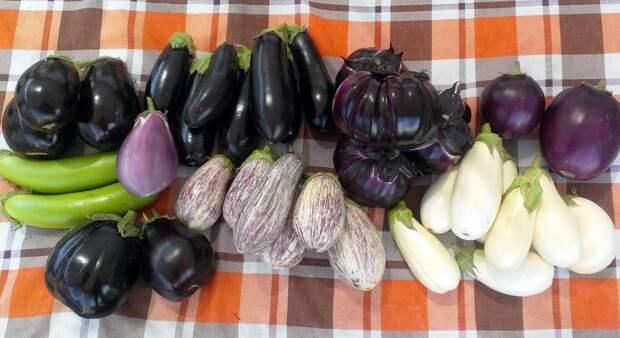 6 правил, когда сеять баклажаны на рассаду: секреты огородника