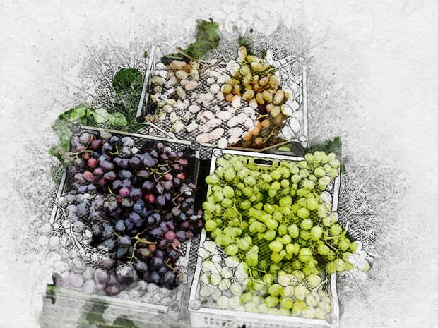У болховского садовода в этом году виноградные кисти весят по 3 килограмма