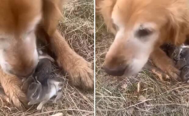 Ретривер нашел новорожденных кроликов и спас их от хищников