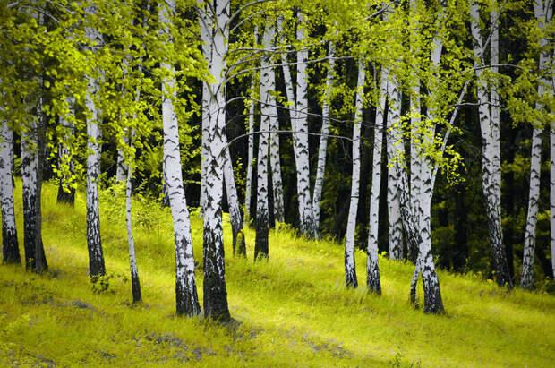 Ведьмино дерево — почему только у березы белый ствол и зачем на нем черные плоски