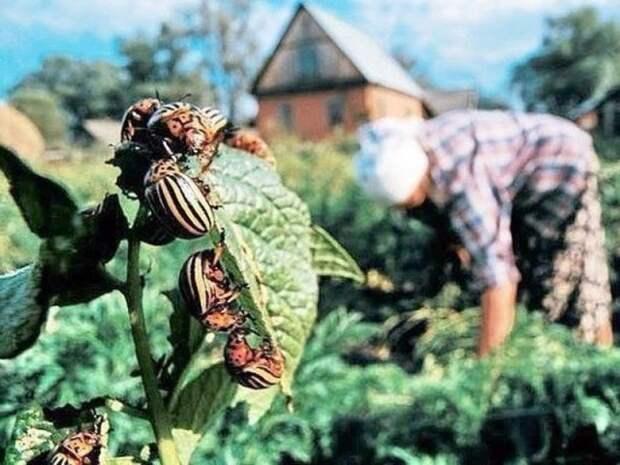 5 народных средств от колорадского жука