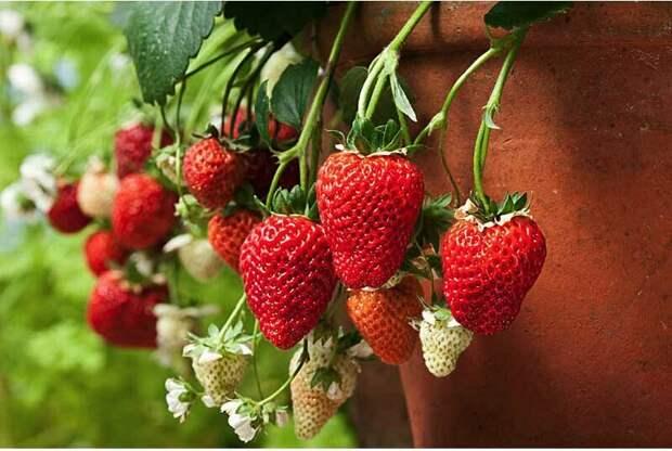 Суперурожайная ягодница или очередной ЛОХОТРОН